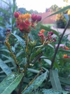 Baby monarch caterpillar in my garden this morning. The ultimate symbol of transformation.